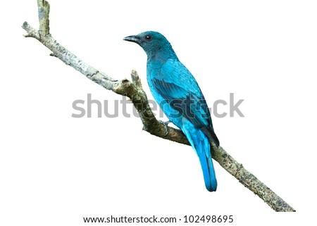 Bird (Asian Fairy Bluebird ) isolated on white background - stock photo