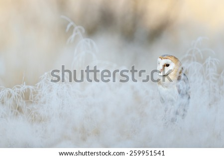 Bird Barn Owl, Tyto alba, sitting on the rime white grass in the winter morning light sun - stock photo
