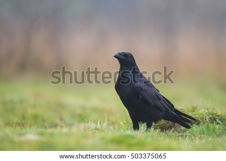 Bird - Black Raven (Corvus corax) in autumn time. Looking for something to eat. Scary, creepy - Halloween
