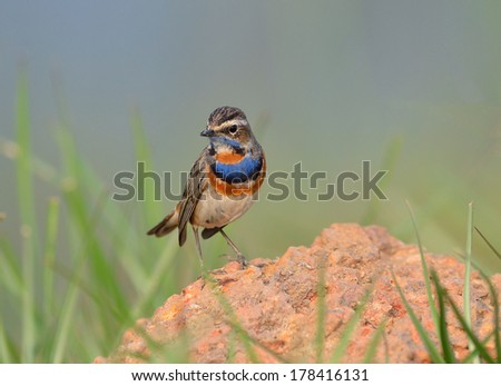 Bird (Bluethroat) , Thailand