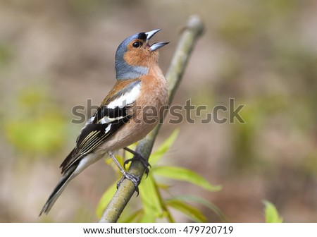 bird Chaffinch sings on the branch in spring Park