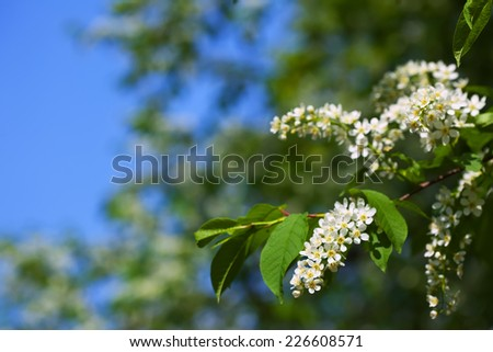 Bird Cherry branch in spring  against blur background with copyspace - stock photo