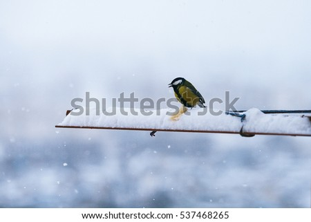 Bird chickadee eats bread in winter and snowing fluffy beautiful against the backdrop of