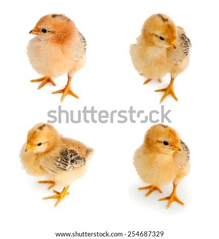 bird. chicken isolated on white background (focus on head) - stock photo