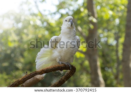 bird , Closeup Yellow-crested Cockatoo - stock photo