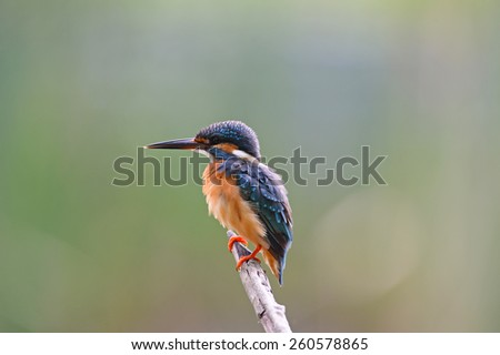 Bird Common Kingfisher looking the fish in lake. - stock photo