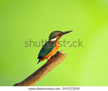 Bird Common Kingfisher on isolated Green background