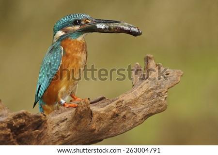 Bird Common Kingfisher with fish in bill - stock photo