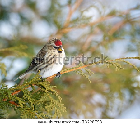 Bird,  Common Redpoll, female,  perched on a branch in the winter.