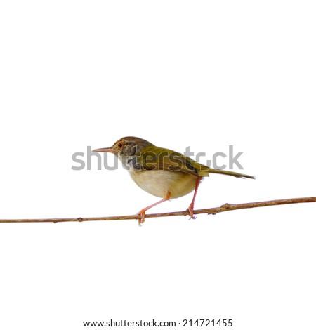 Bird Common Tailorbird (Orthotomus sutorius) isolated on white background - stock photo
