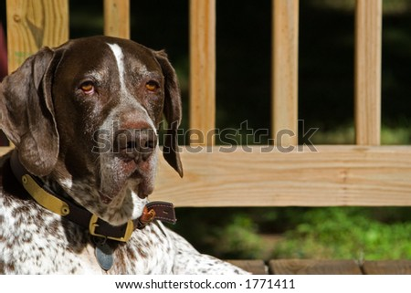Bird Dog - stock photo
