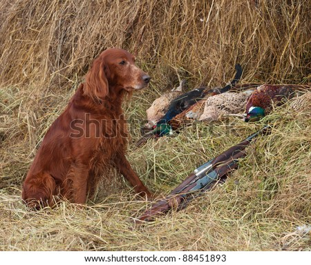 Bird dog resting after the hunt beside a shotguns and pheasants in front of a hay - stock photo