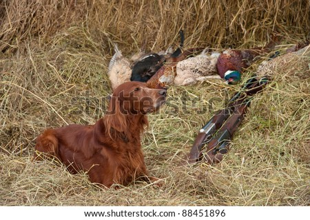 Bird dog resting after the hunt beside a shotguns and pheasants in front of a hay, horizontal - stock photo