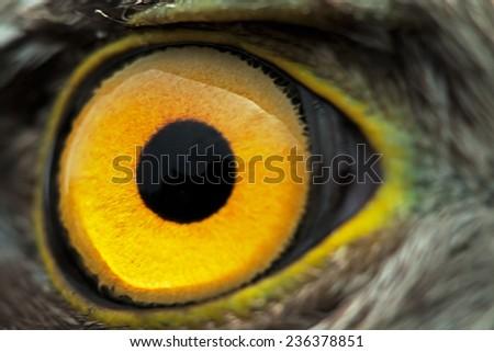 bird eye close-up, macro effect photo of Sparrow Hawk (Accipiter nisus) - stock photo