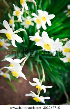 Bird eye top view of Beautiful White and yellow daffodils. Yellow and white narcissus in a garden. Soft focus or shallow depth of field