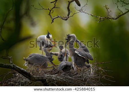 Bird family in the nest. Feeding scene during nesting time. Grey heron with young in the nest. Food in the nest with young herons. Birds in the nest. Action scene from nature. Wildlife in the nest. - stock photo