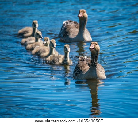 Bird family of two adults and four babies swimming towards viewer. Shot at Hornborgasjön 05/26/17