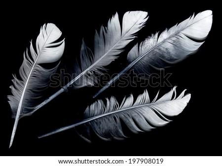 bird feather on black background - stock photo