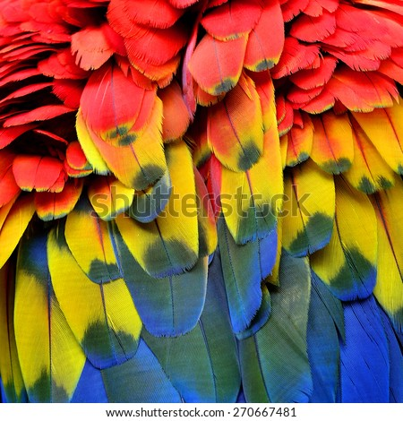 Bird  feathers, Scarlet Macaw feathers. - stock photo