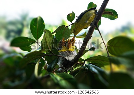 Bird feeding to three hungry open mouthed chicks in the nest. - stock photo