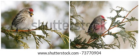 Bird,  female and male Common Redpoll  collage.
