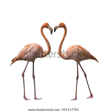 Bird flamingo walking on a white background , flamingo isolated on white background ,Beautiful bird flamingo , flamingo in lovely moment