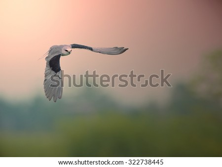 bird flying at sunset - stock photo