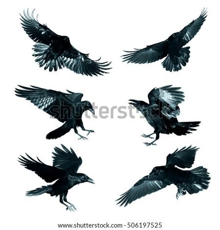 Ravens flying wallpaper - photo#26