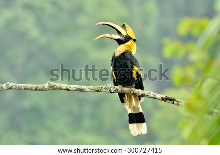 Bird (Great hornbill) , Thailand - stock photo
