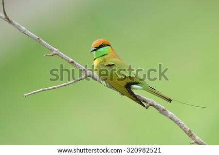 Bird (Green Bee-eater) , Thailand - stock photo