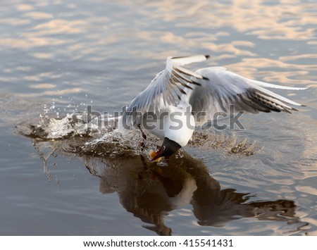 Bird. Gull takes a meal from the water. View of flying gull bird under sunlight. Awesome gull bird. Gull bird fly. Bird with amazing wings.  bird. Gull bird. Bird going to fly. Gull bird. Bird in city - stock photo