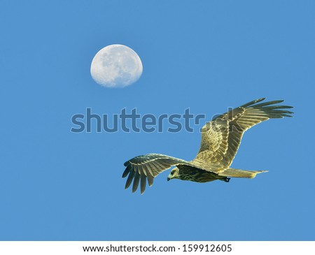 Bird Hawk ( black kite ) flying in the sky with the moon. - stock photo