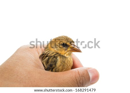 Bird  in human hand isolated on white - stock photo