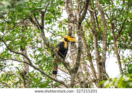 Bird in nature, Great Hornbill perching on a branch