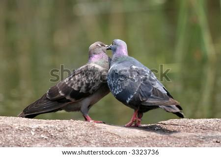 Bird Kiss - stock photo