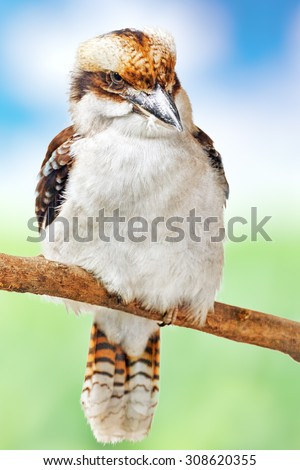 Bird - Laughing Kookaburra in its natural habitat in nature. - stock photo