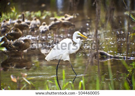 Bird life in Kakadu National Park, Australia  Australian Great White Egret in Kakadu National Park, Australia  enjoying the morning sun in Yellow Waters - stock photo