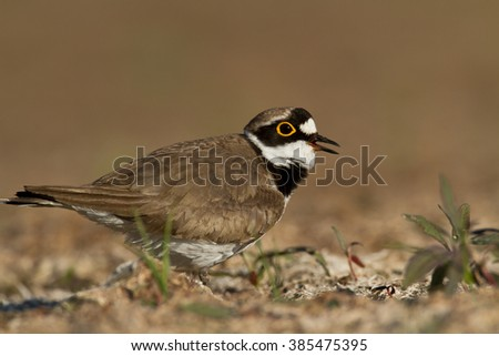 Bird - Little Ringed Plover (Charadrius dubius) on the brown background - stock photo