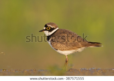Bird - Little Ringed Plover (Charadrius dubius) small wader - stock photo