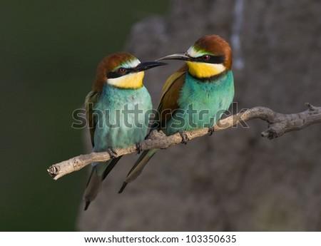 Bird love (Bee-Eater) - stock photo