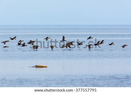 Bird migration with Great Commarant at the sea