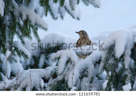 Bird (mistle thrust) in the snow