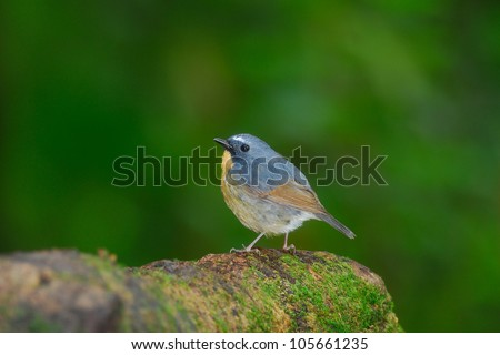 Bird name is Snowy-browed Flycatcher ,Male ,Doi Inthanon Natural Park ,Chiangmai ,Thailand - stock photo