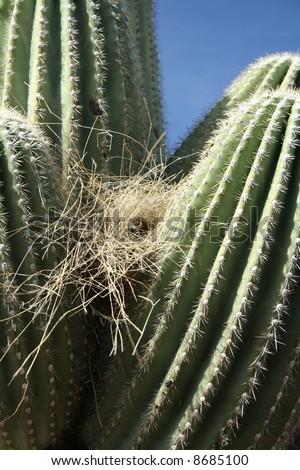 Bird nest on Saguaro Cactus - predators keep out - Saguaro National Park, Sonoran Desert, Tucson, Arizona - stock photo