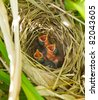 Bird. Nest with three newly hatched baby wrens waiting for their mother to return and feed them. - stock photo