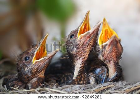 Bird nest with young birds - Eurasian Blackbird - stock photo