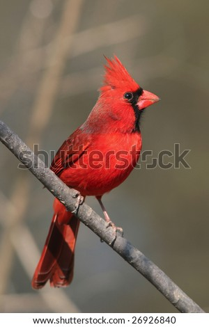 Bird, Northern Cardinal, Male, Cardinalis cardinalis