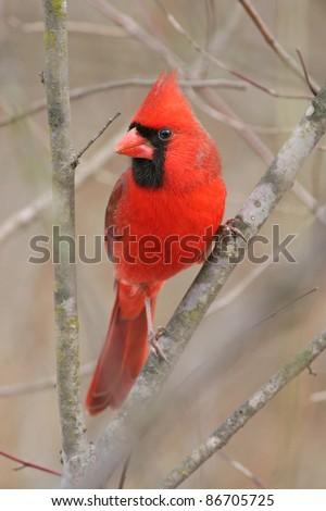 Bird, Northern Cardinal, Male, Cardinalis cardinalis - stock photo
