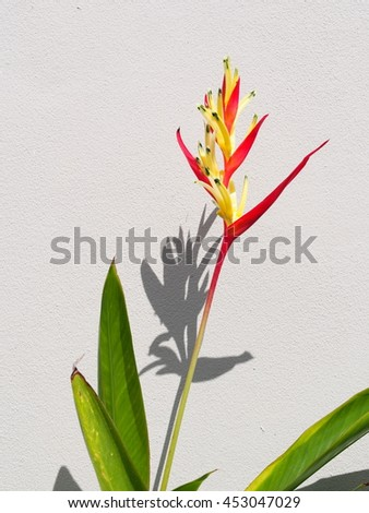 bird of paradise, colorful exotic tropical flower in nature under sunlight and shadow on white painted wall background - stock photo