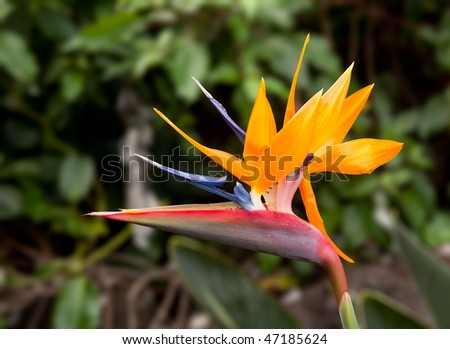 Bird of Paradise flower against a blurred background with small ants on the petals - stock photo